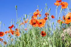 Red poppies in a field Stock Photography