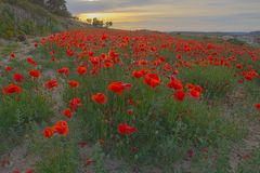 Red poppies, Field poppies,  Papaver rhoeas royalty free stock photos