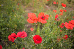 Red poppies in a field Royalty Free Stock Photography