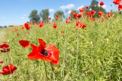 Red poppies in the field stock photos