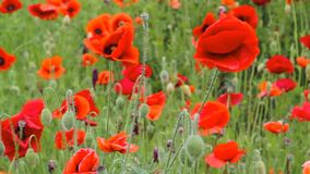Red poppies on the field. stock footage