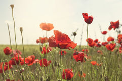 Red poppies at field Royalty Free Stock Photo
