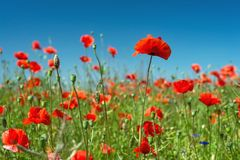 Red poppies field Royalty Free Stock Photos