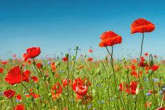Red poppies field Stock Photos
