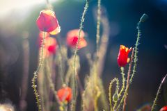 Red poppies on the field with soft filter. Field of Corn Poppy Flowers Papaver rhoeas in Spring concept Stock Photography