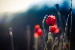 Red poppies on the field with soft filter Stock Images
