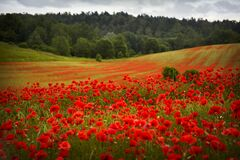 Free Red Poppies Field, Summer Colorful Background. Meadow Spring Blooming Grass. Summer Garden Scene Stock Images - 188193574