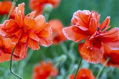 In poppies field. Red poppies on a field on a summer sunny day. Summer and spring, landscape, poppy seed. Opium poppy, botanical royalty free stock photo