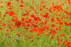 Red poppies in the field sunny day Royalty Free Stock Images