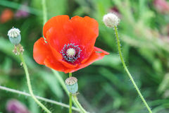 Red poppies in the field sunny day Stock Photo