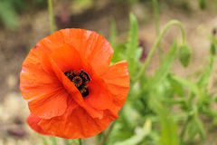 Red poppies in the field sunny day Royalty Free Stock Photo