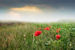 Red poppies in the field during the sunrise. The rays of the sun stock photos