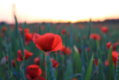 Red poppies in the field, sunset mood Royalty Free Stock Photos