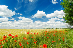 Red poppies on field and white clouds on blue sky Stock Photos