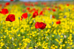 Red poppies in the field Royalty Free Stock Photos