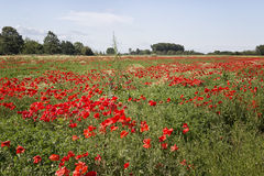 Red poppies fields Royalty Free Stock Images