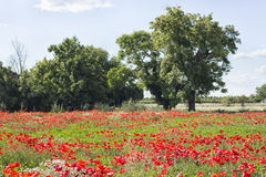 Red poppies fields Stock Photo