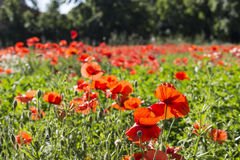 Red poppies fields. Red poppies on green weeds fields during spring in Italian countryside Royalty Free Stock Image