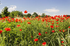 Red poppies fields Royalty Free Stock Photo