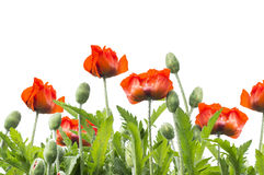 Red poppies floral border, isolated on white. Background Royalty Free Stock Image
