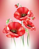 Red poppies. With flower buds on red background Royalty Free Stock Photo