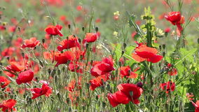 Red poppies flower closeup stock video