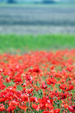 Red poppies flower countryside Stock Photography