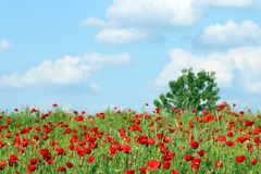 Red poppies flower green tree and blue sky spring Royalty Free Stock Image