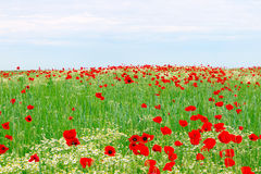 Red poppies flower meadow and blue sky. Springtime Royalty Free Stock Image