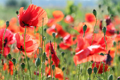 Red poppies flower meadow spring Stock Image