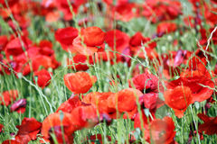 Red poppies flower nature Stock Image