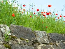 Red poppies flower on the old stone wall. stock photo