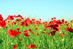 Red poppies flower Royalty Free Stock Photo