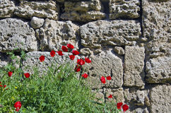Red poppies flowering besides old stone wall Stock Photo