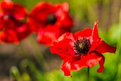 Red Garden Poppies Royalty Free Stock Photography