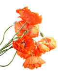 Red poppies flowers Stock Photography