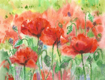 Red poppies. Stock Images