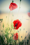 Red poppies flowers on blurred nature background stock photo