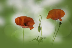 Red poppies flowers and bud Royalty Free Stock Photo