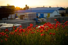 Poppy flowers at sunset royalty free stock photos