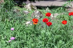 Red poppies flowers in grass at spring cottage garden stock photo