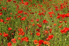 Poppy flowers growing in a summer meadow stock image