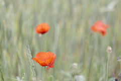 Red poppies flowers on a green field Stock Images