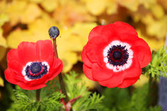 Red poppies flowers. Stock Images
