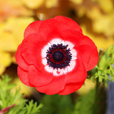 Red poppies flowers. Stock Photos