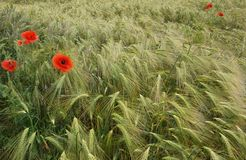 Red poppies, flowing barley. Red poppy flowers growing wild in a field of barley Royalty Free Stock Photo