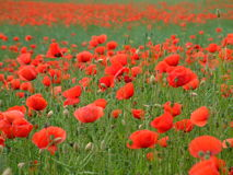 Red poppies in France. Along the road Stock Photography