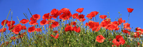Red poppies full bloom, panoramic size format. Bright red poppies full bloom and blue sky, panoramic size stock photography