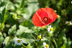 Red Poppies in the garden. Royalty Free Stock Photography