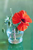 Red poppies. In a glass vase on a grunge background Stock Photos